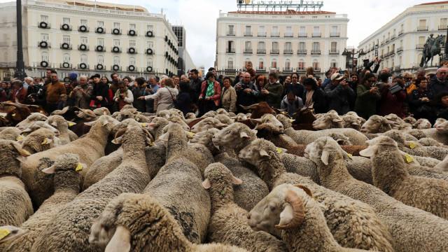 Mais de 2 mil ovelhas nas ruas de Madrid. Não, não estão a protestar