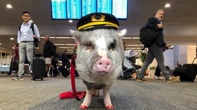 Aeroporto de São Francisco tem uma porca para ajudar passageiros