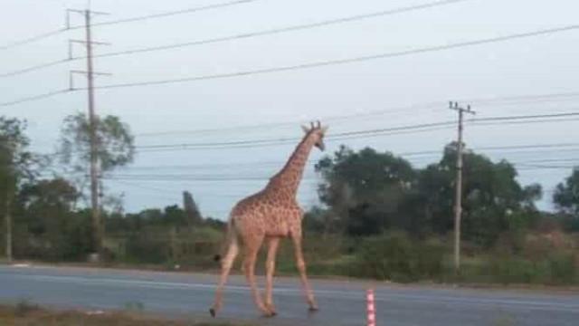 Girafa desaparecida após escapar de carrinha que a levava até zoo