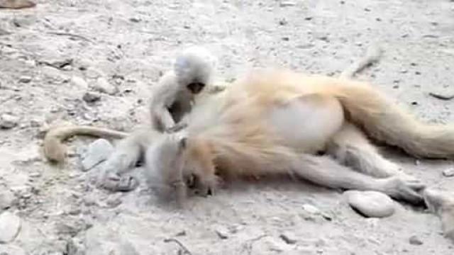 Vídeo emocionante. Macaco bebé tenta acordar mãe que morreu eletrocutada