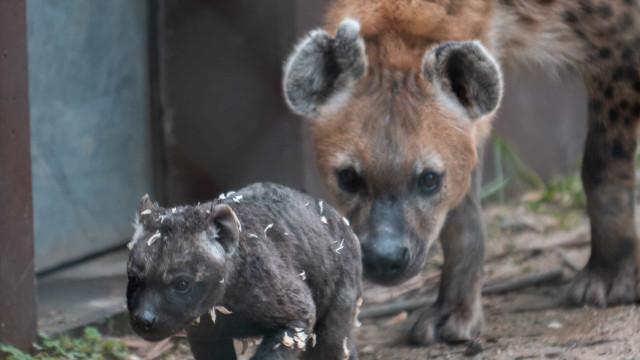 Hiena Malhada nasce no Zoo do Porto. Espécie só pode ser vista aqui