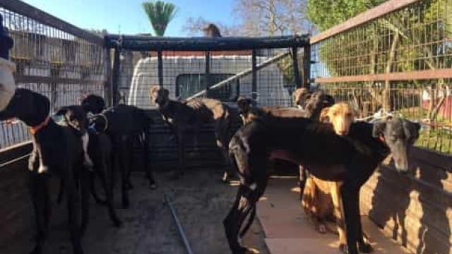 GNR divulga fotos dos cães subnutridos do cavaleiro João Moura. Um morreu