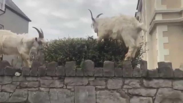 Cabras 'invadem' ruas de cidade galesa 'esvaziada' pelo isolamento