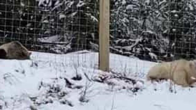 Urso pardo com pelo branco captado em vídeo no Canadá