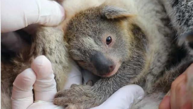 Nasceu o primeiro coala na Austrália após incêndios que devastaram o país