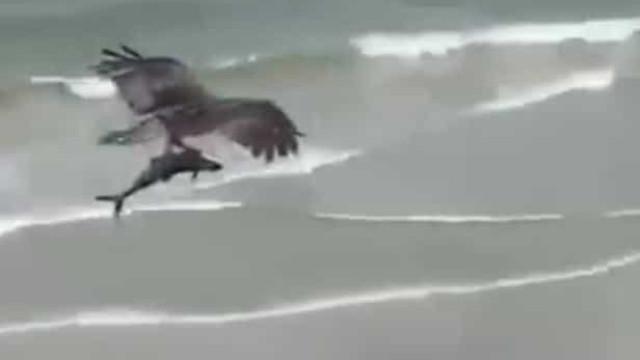Águia sobrevoa praia com animal preso nas garras. Aconteceu nos EUA