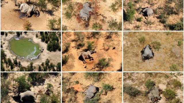 Desvendada a causa da misteriosa morte de 300 elefantes no Botsuana