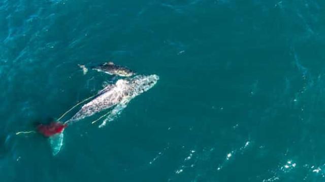 Tubarão filmado a 'afogar' baleia no primeiro ataque conhecido do género