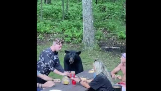 Urso junta-se a piquenique para comer sandes de manteiga de amendoim