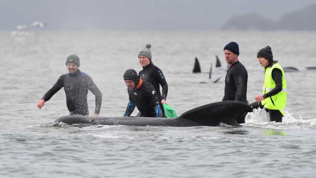 """Centenas de baleias encalhadas. """"Maior incidente"""" registado na Austrália"""