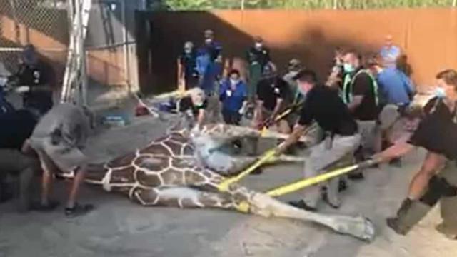 Tratar girafa de 5 metros com uma fratura no casco? Eis o procedimento