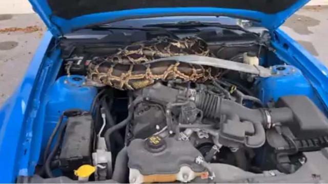 Cobra com mais de três metros encontrada em motor de carro