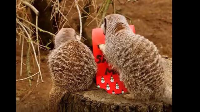 Estas suricatas já enviaram a carta ao Pai Natal. Veja o que pedem