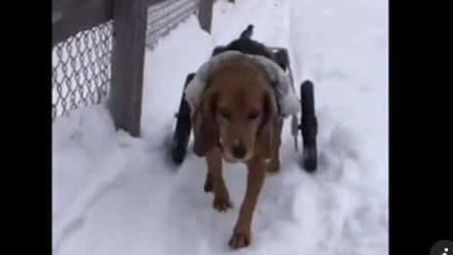 Cães paraplégicos divertem-se na neve e há imagens