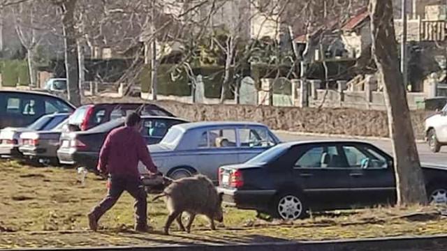 Homem passeia javali (de trela) em Montalegre