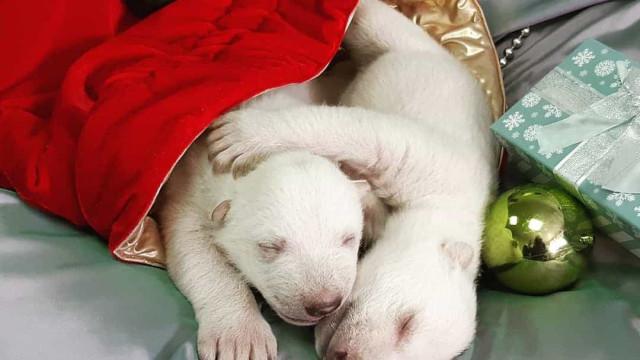 Rejeitadas pela mãe, crias de urso polar recebem cuidados 24h por dia