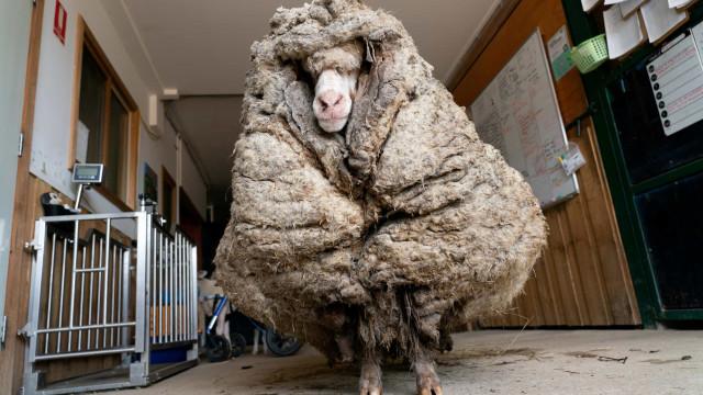 Conheça Baarack, a ovelha resgatada na Austrália que acumulou 35kg de lã