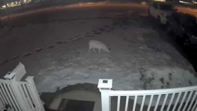 Veado albino apanhado em câmaras de videovigilância de casa em New Jersey