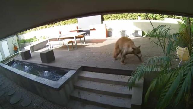 Pequenos cães terrier aterrorizam urso que invadiu casa nos EUA