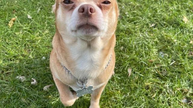 """""""Chihuahua demoníaco"""". Sinceridade tornou este anúncio de adoção viral"""