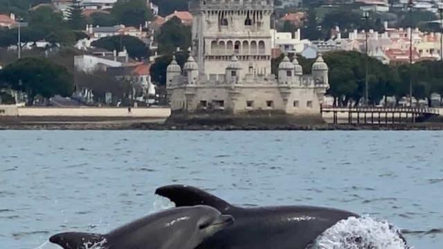 Grupo de 50 golfinhos com filhotes divertem-se no rio Tejo em Lisboa