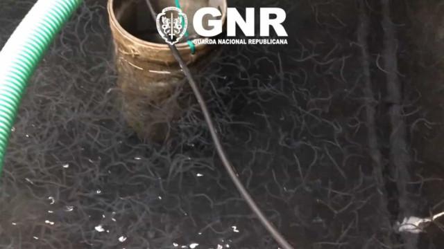 Pesca ilegal de meixão. As imagens da operação LAKE da EUROPOL