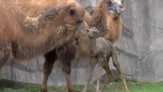 Vídeo. O Milwaukee County Zoo tem um novo elemento na família