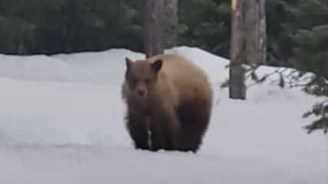 Homem seguido por urso pardo enquanto corria em parque no Wyoming