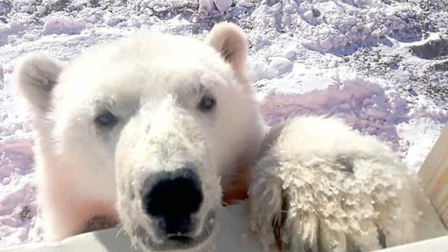 Vídeo. Urso polar domesticado em ilha russa vai agora viver em zoo