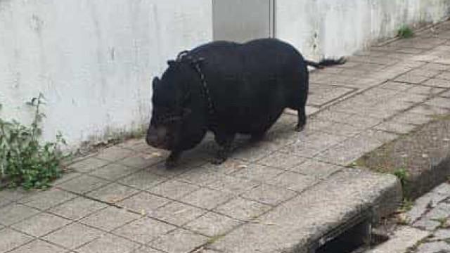 Um porco a passear pelas ruas da cidade do Porto? Sim e há vídeo