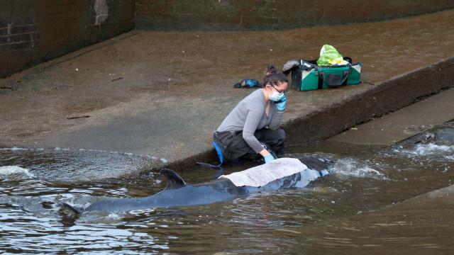 Baleia resgatada após ficar encalhada no rio Tamisa