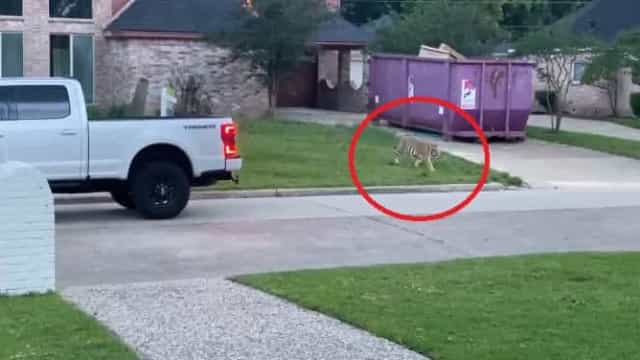 Tigre à solta em Houston. Polícia já deteve suposto dono