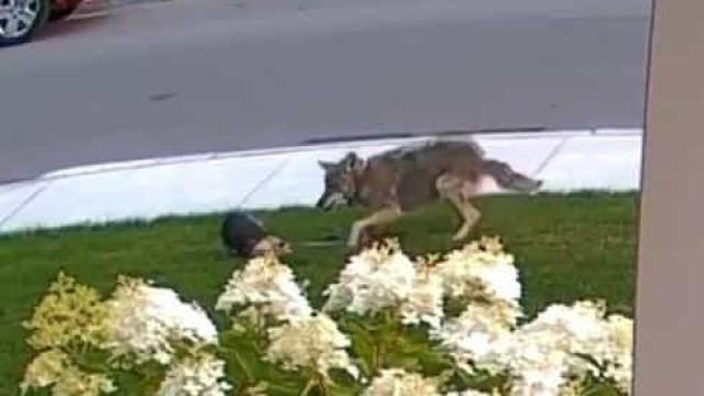 Cadelinha protege menina de 10 anos de ataque de coiote no Canadá