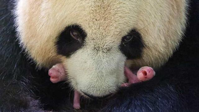 Panda gigante dá à luz gémeos em zoo francês. Eis as primeiras imagens