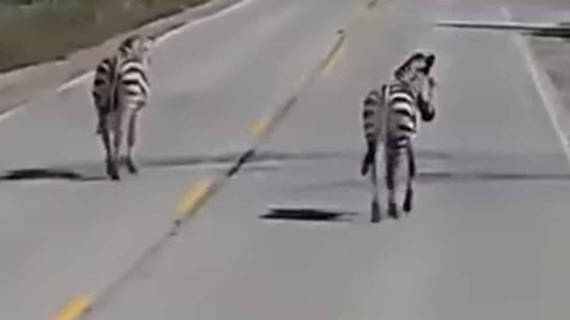 Duas zebras fugitivas capturadas após vaguearem estrada fora no Wisconsin