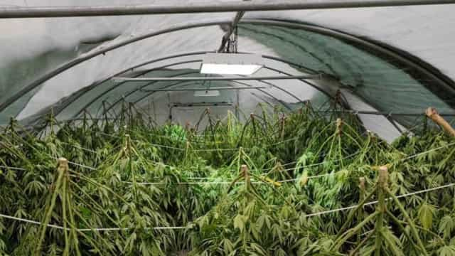 Homem detido na Sertã com mais de 3.300 plantas de canábis