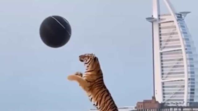 Casal lança polémica após usar tigre para revelar sexo de bebé no Dubai