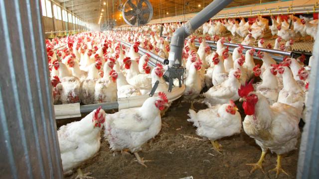 Soja de Portugal quer investir 10 milhões na produção de carne de aves