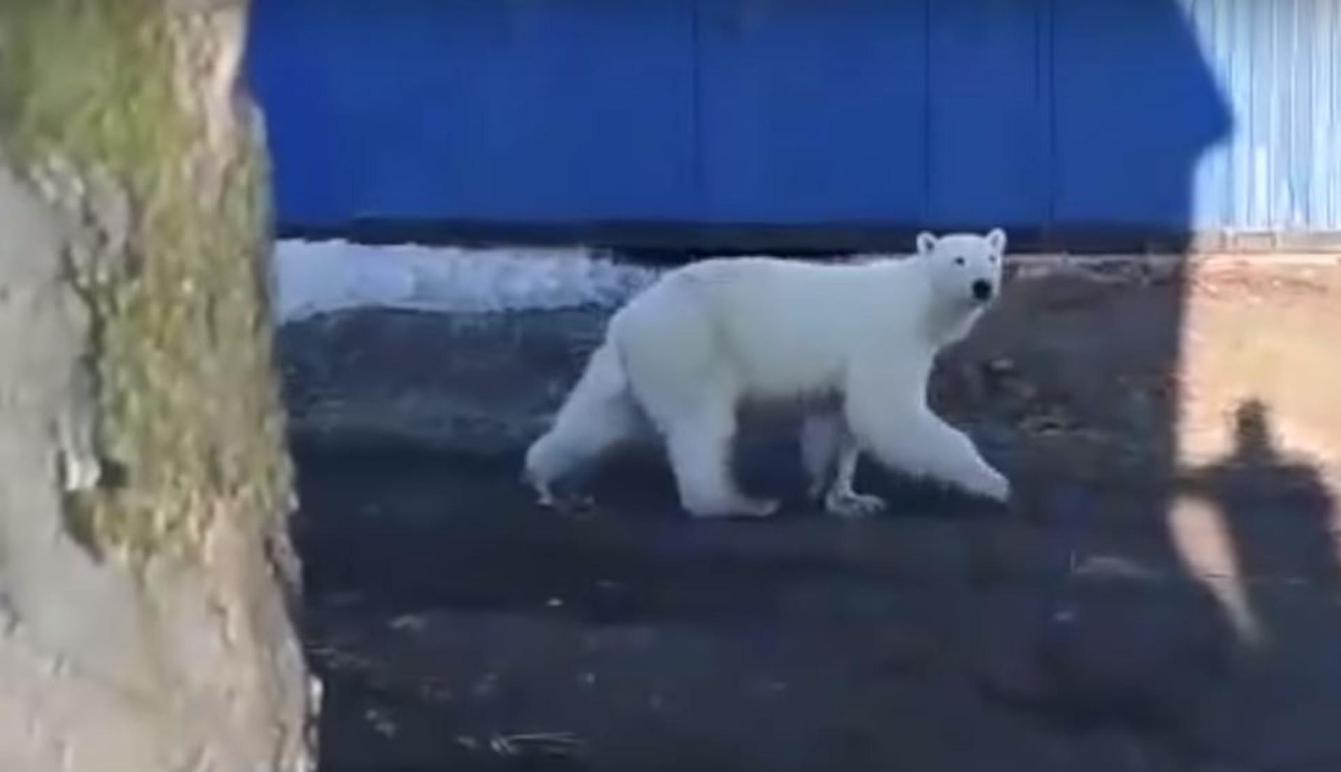 Urso polar encontrado exausto a 700 km de casa na Rússia