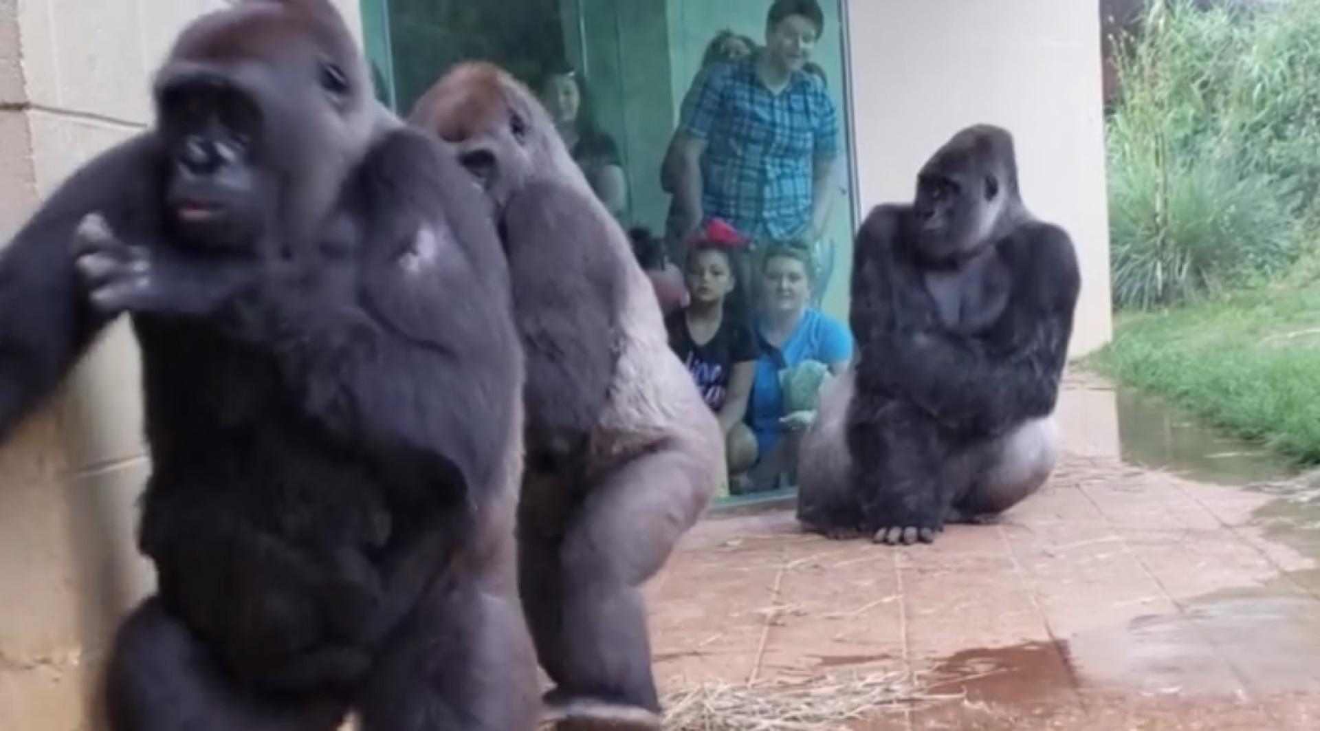 Esta família de gorilas tentou a todo o custo não apanhar chuva