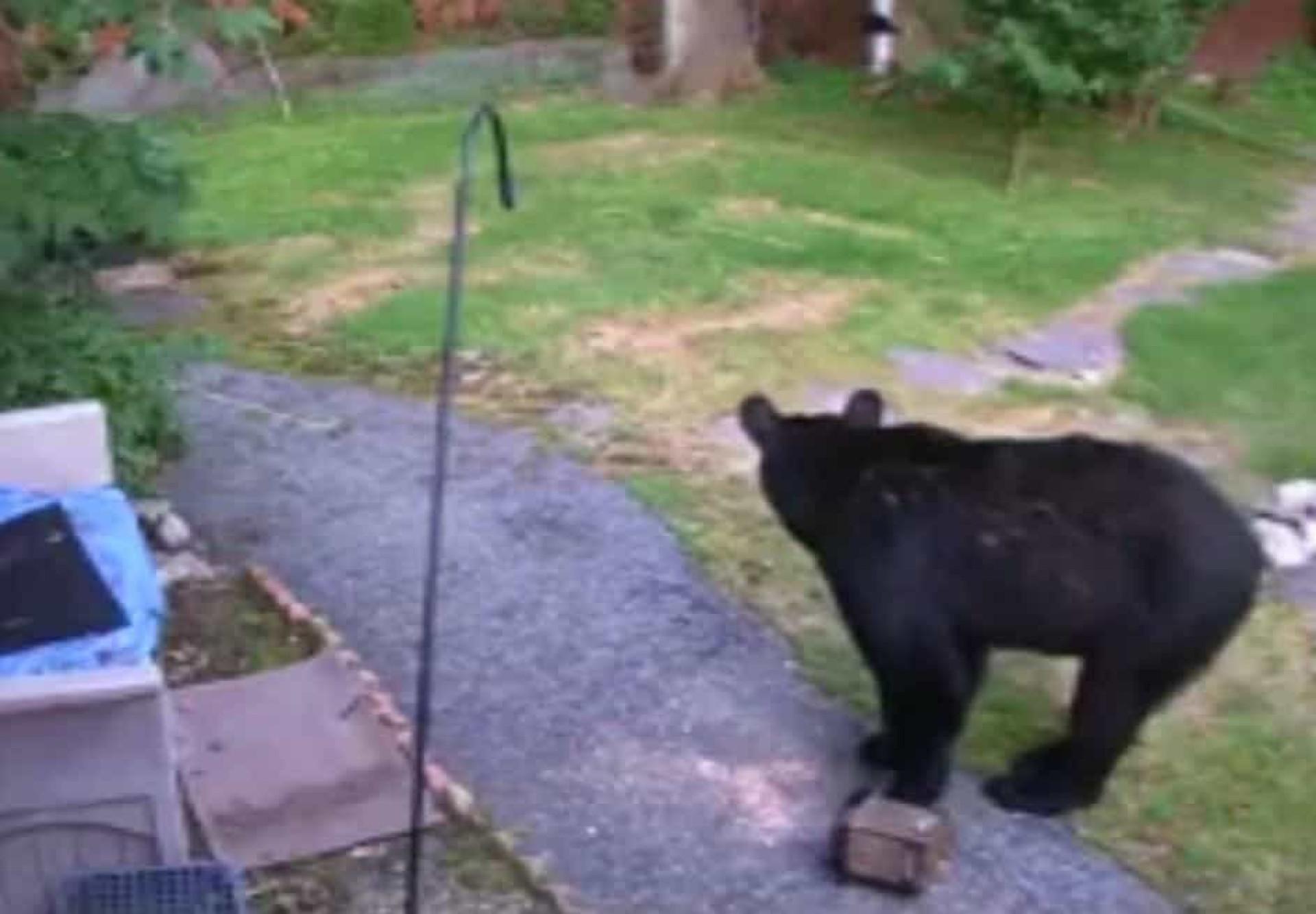 Cão valente afugenta urso de quintal do vizinho em New Jersey