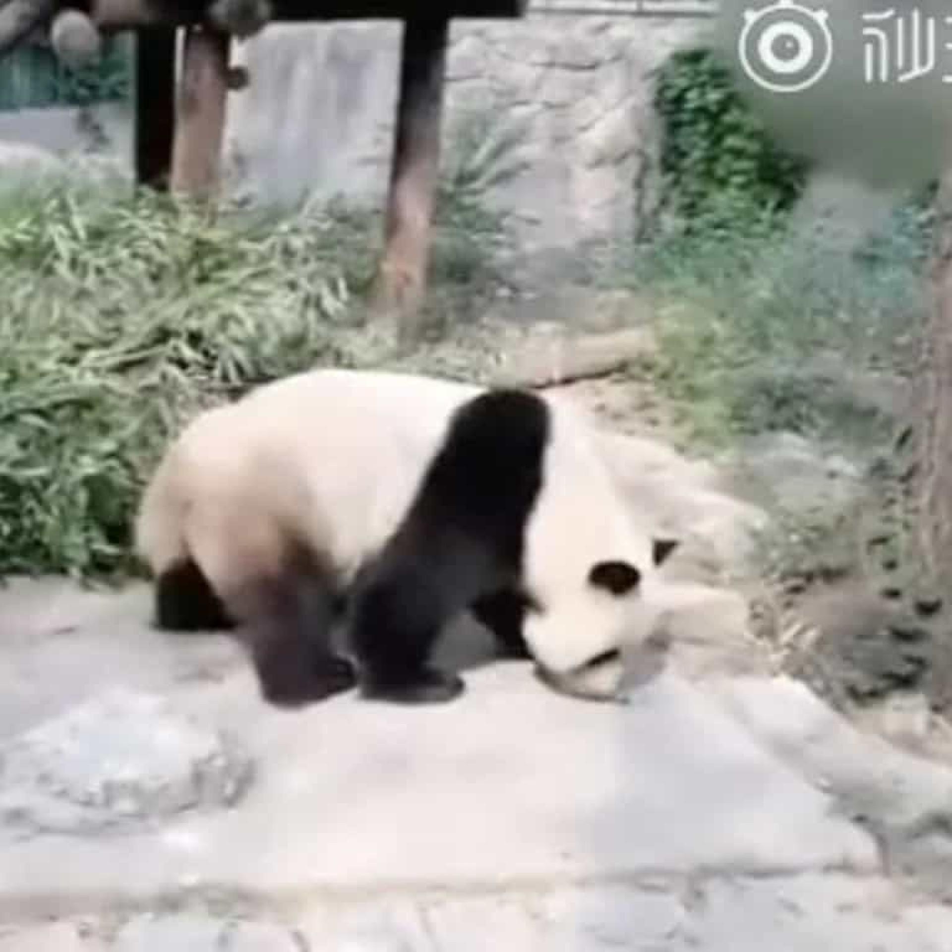 Turistas atiram pedras a panda gigante para o acordar em Zoo de Pequim