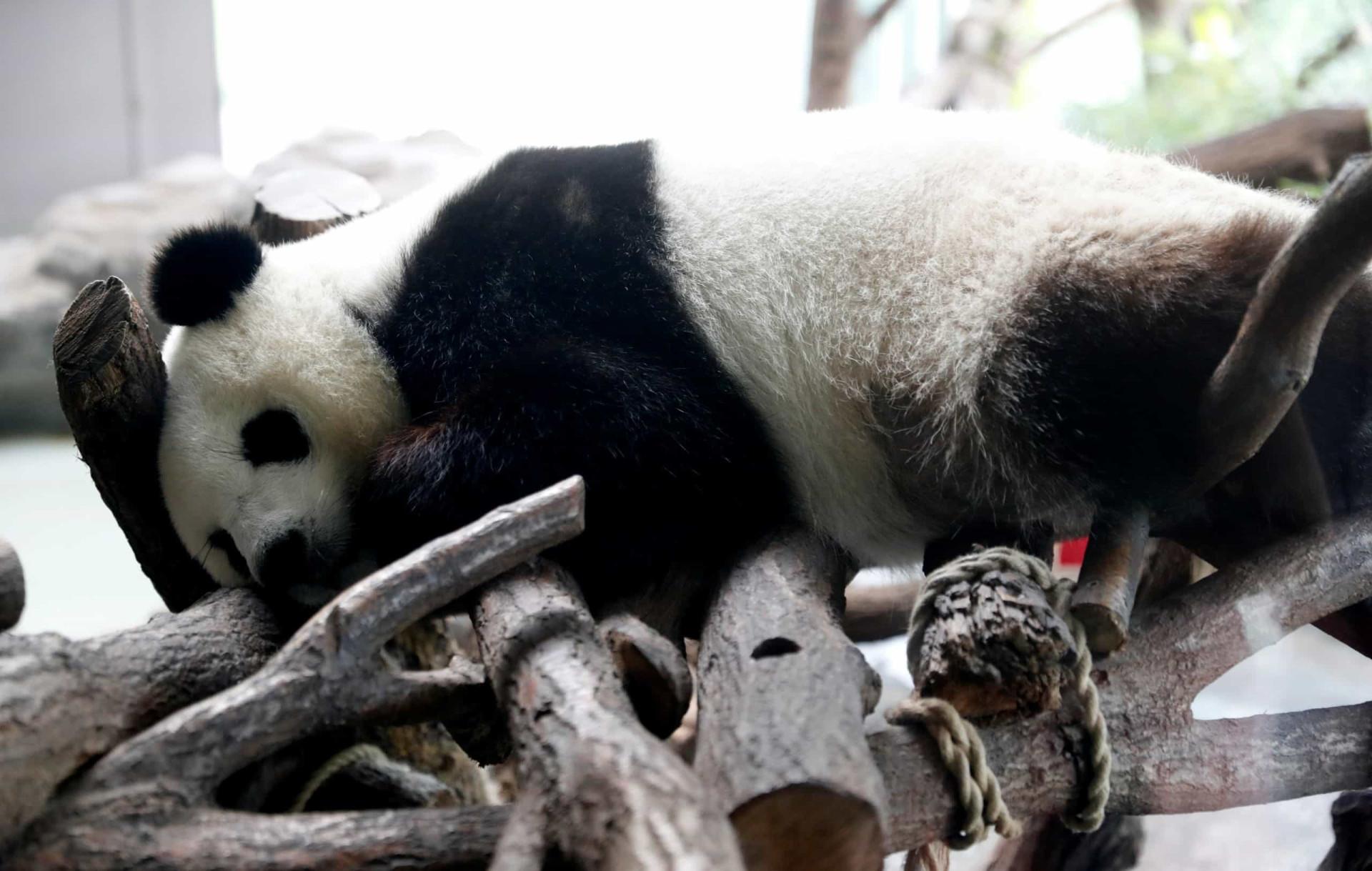 Primeiros ursos panda nascidos em cativeiro na Alemanha