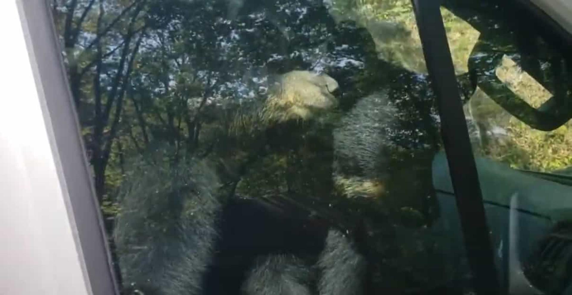 Homem alvo de 'carjacking' por parte de duas crias de urso