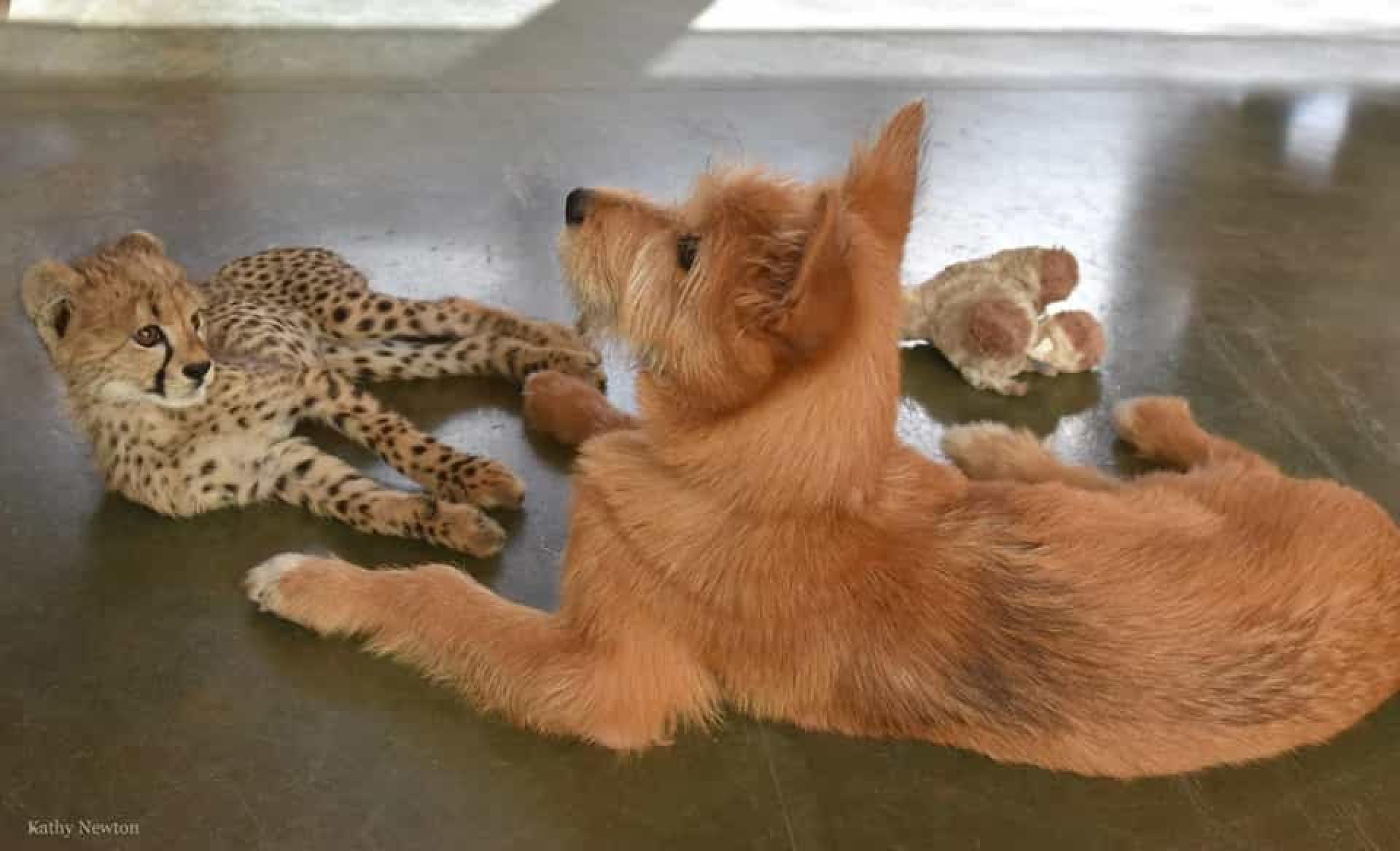 A amizade improvável entre uma cria de chita e... um cão bebé