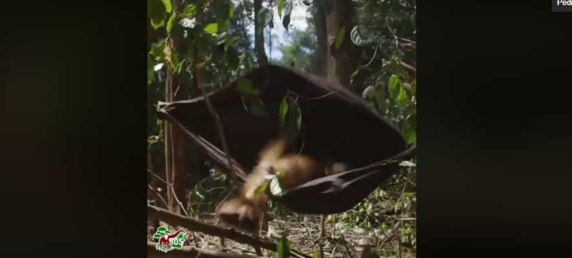 A tentativa (frustrada) de orangotango em deitar-se numa cama de baloiço