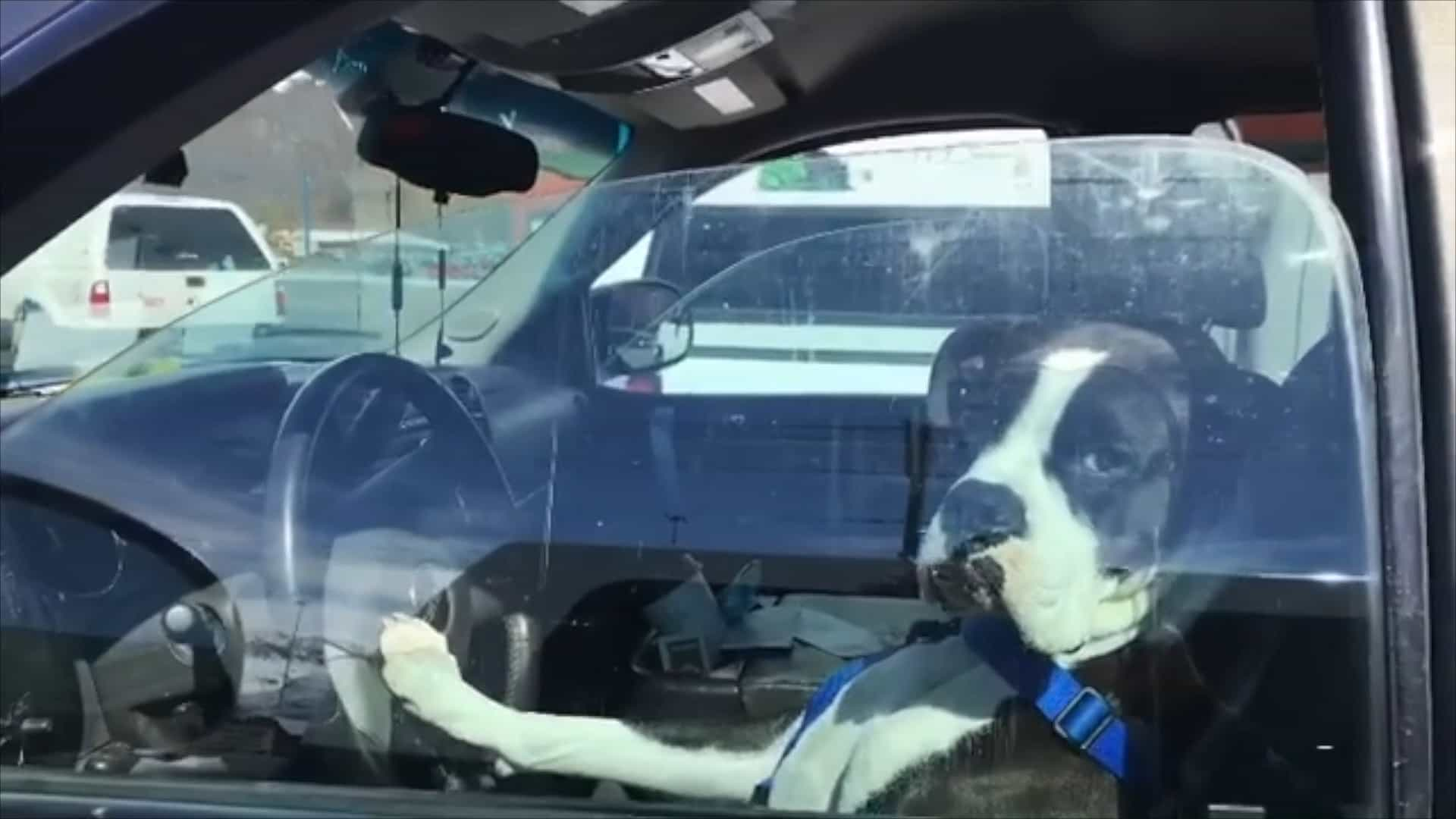 BuzzVideos - Impatient dog honks for attention
