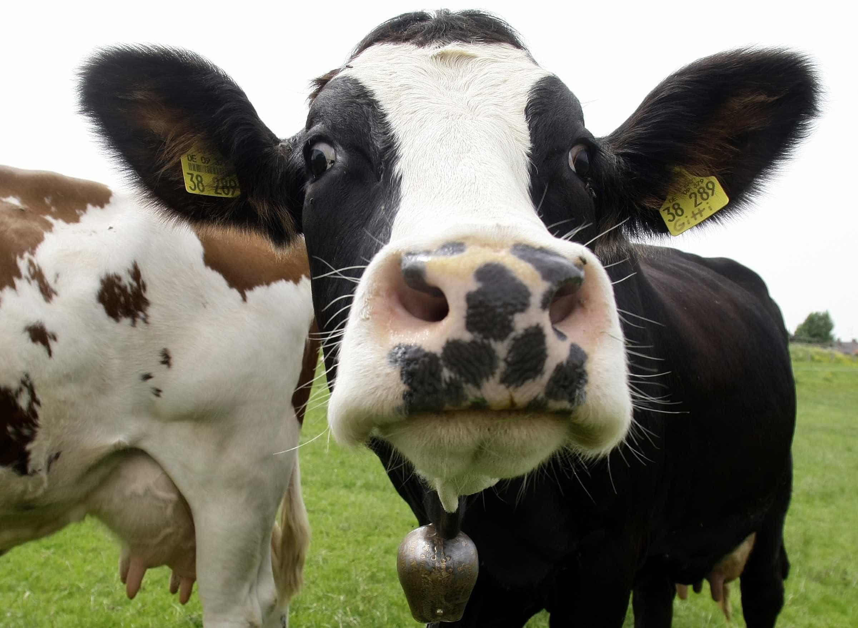 """Abater para valorizar preço do leite? """"Vacas felizes nos Açores? Onde?"""""""