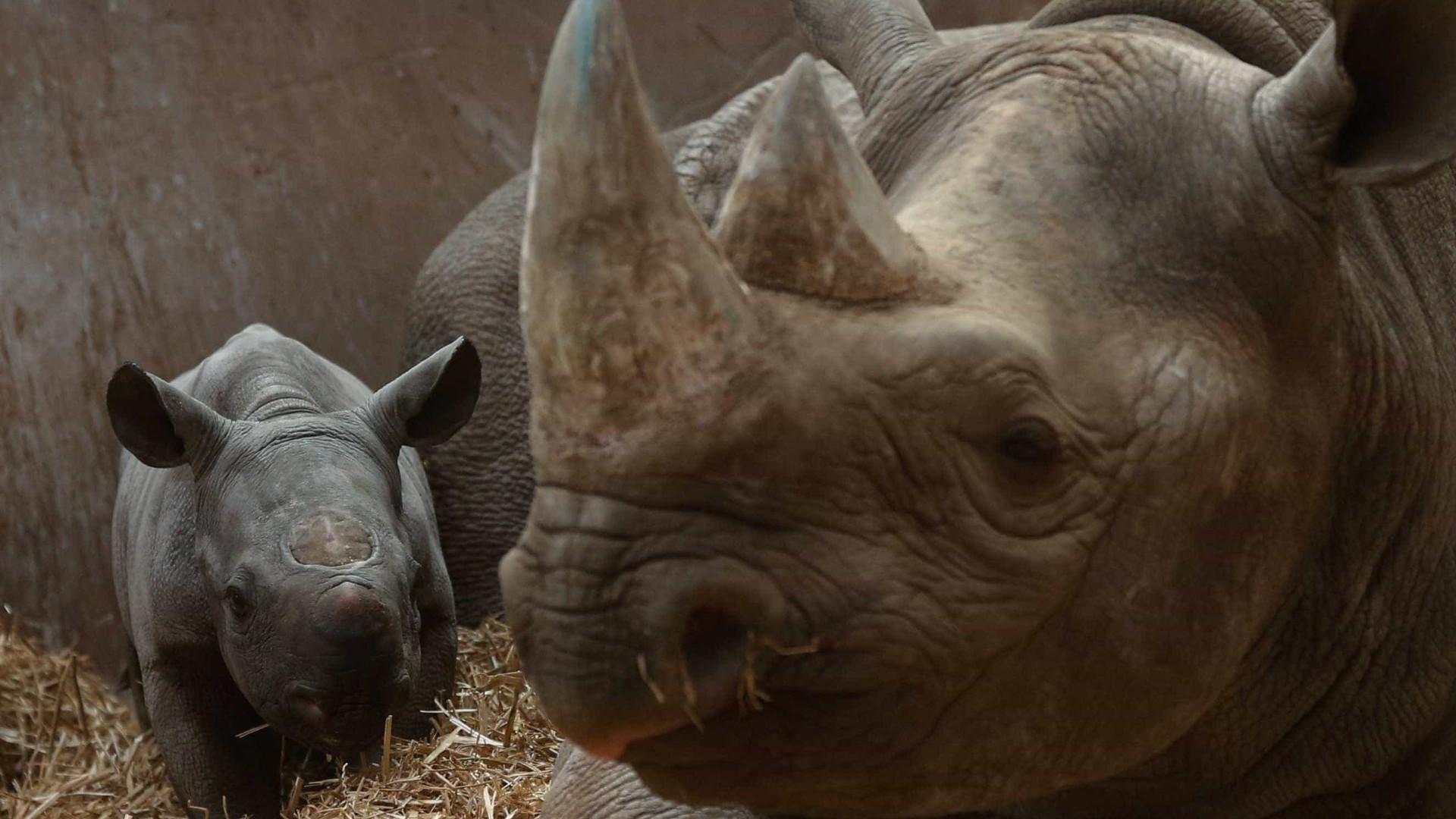 Fêmea de rinoceronte morre após perseguição de macho para acasalar