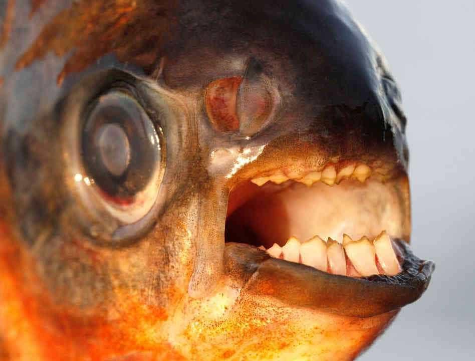 Nova espécie de peixe encontrada em Timor-Leste